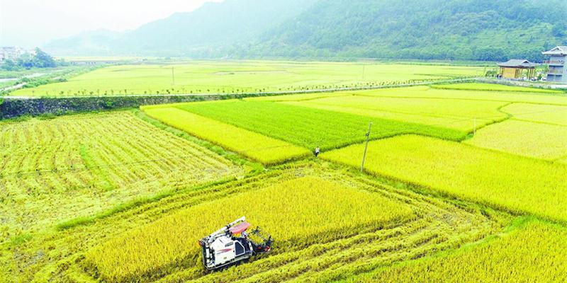 侗藏红米稻  收割正当时