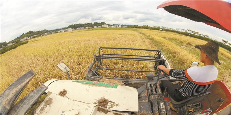 龙山县农民抢收水稻
