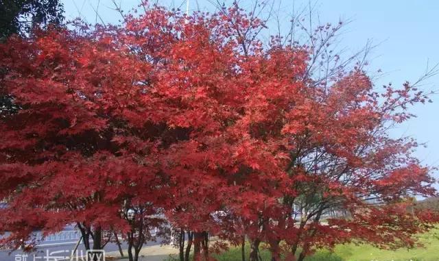 长沙最全赏枫叶攻略来了!十二处最佳赏枫地你去过几个?