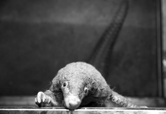 湖南破获穿山甲案出售珍贵濒危野生动物及其制品案告破