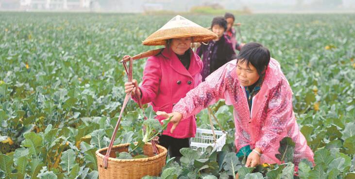 西兰花助农脱贫