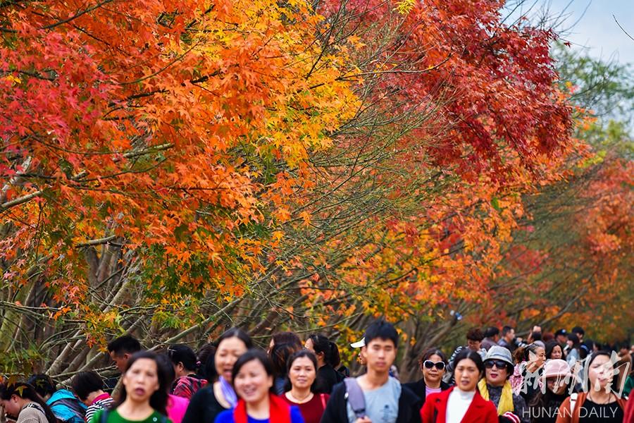 红枫正艳 层林浸染 新湖南www.hunanabc.com