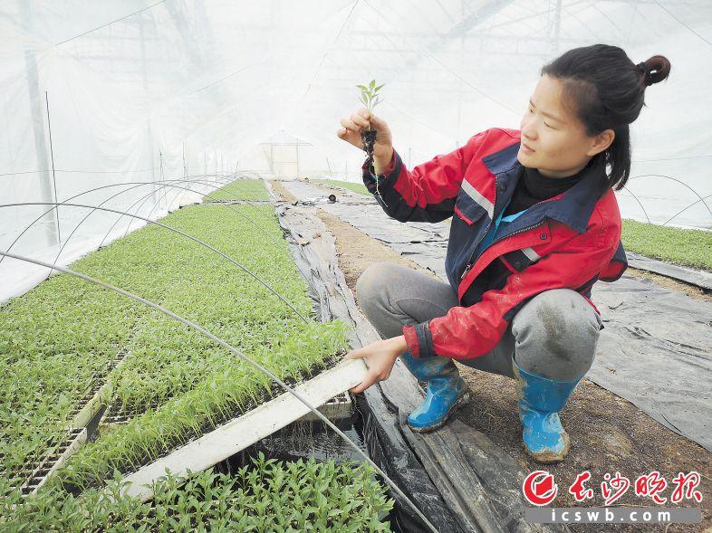 望城区农美种苗负责人张兰芳育苗