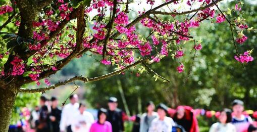 樱花绽放俏争春