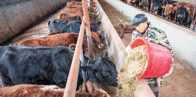 肉牛养殖 脱贫增收