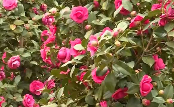 邵阳邵东:山茶花绽放 春来遍地红