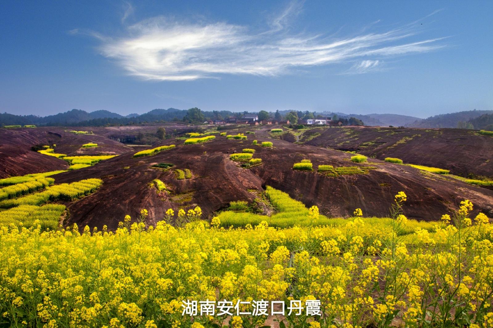 华声直播>>安仁赶分社暨第十一届油菜花节