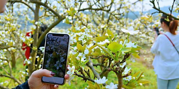靖州:万亩梨花开 正是赏花时