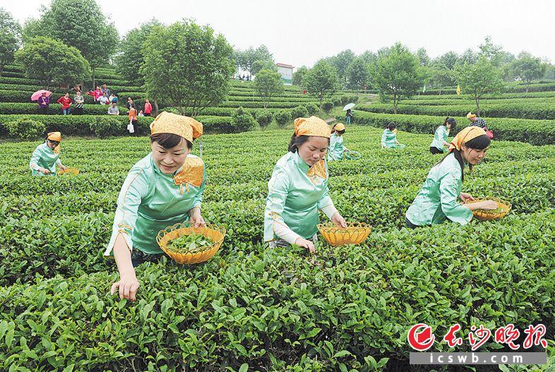 美丽乡村建设示范片区长沙县金井镇的茶园里,市民和游客跟随茶艺师采摘茶叶。 均为长沙晚报全媒体记者 邹麟 摄