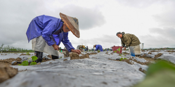 道县:谷雨将至 农人春种茄苗忙