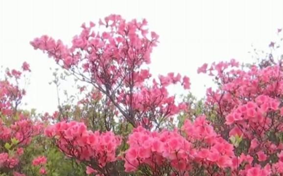 新邵:高山杜鹃花开正艳