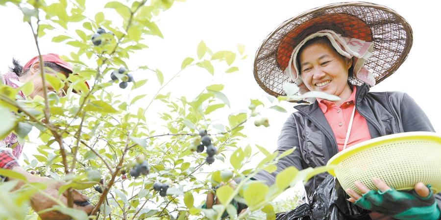 蓝莓迎来收获季