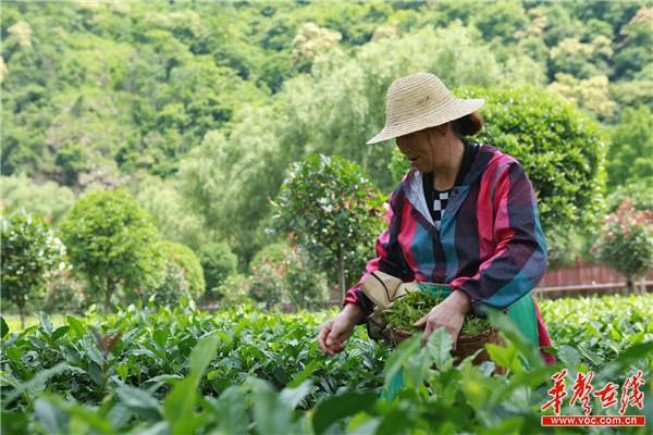 270万亩生态陕茶助力陕莱寒斯基图片东农业特色产业3+x工程发铺