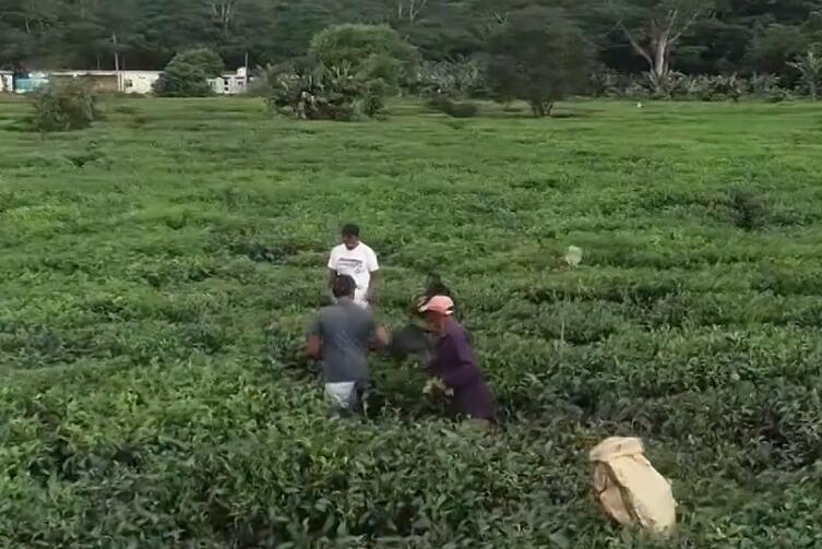 湖南茶叶走俏非洲市场 今年出口有望突破3000万美元