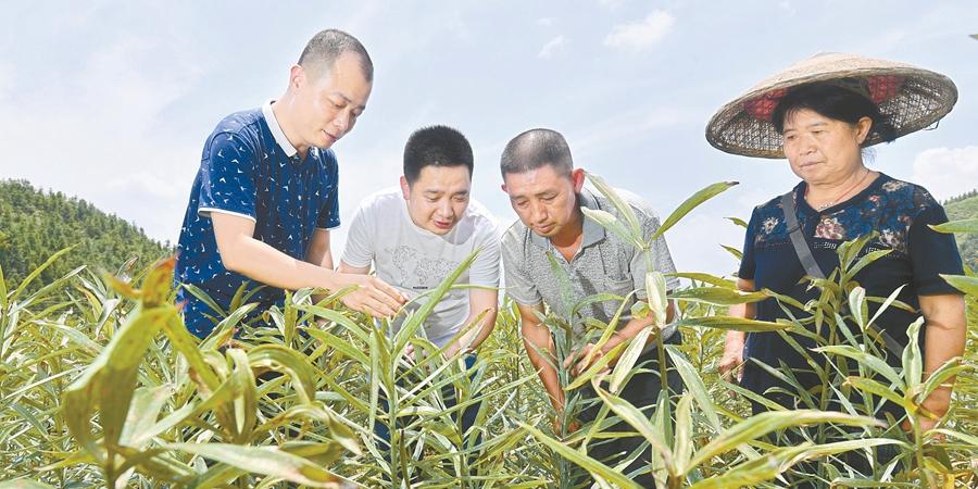 种植百合 助农脱贫