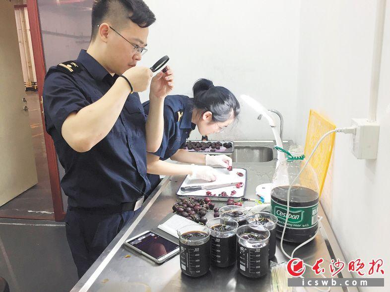 →海关人员第一时间对加拿大樱桃实施现场检疫查验。