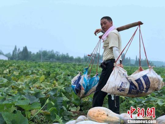 发展萝卜南瓜套种每亩能增收3000多元。 宋梅 摄