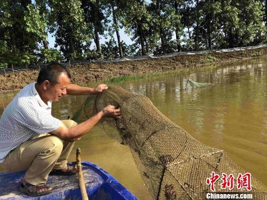 稻虾套种模式促进洞庭湖区农民增收致富。 宋梅 摄