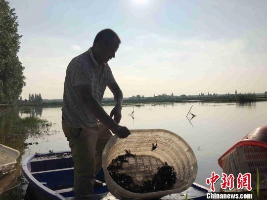 水田套种虾蟹在湖区发展迅猛,流转费高达每亩800元。 宋梅 摄