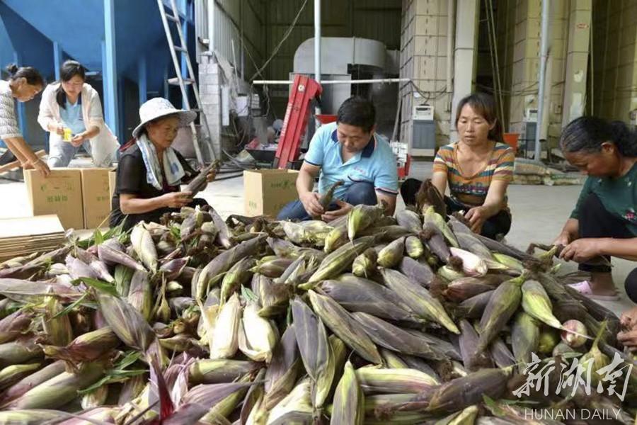 永顺:玉米助增收 新湖南www.hunanabc.com
