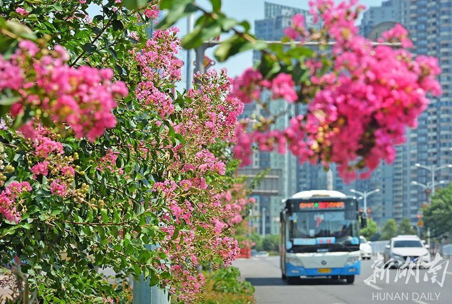 紫薇花  靓星城 新湖南www.hunanabc.com