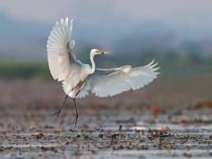 夏候鸟·白鹭|白鹭为什么爱湖南?