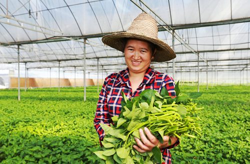 """蔬菜产业助农""""拔穷根"""""""