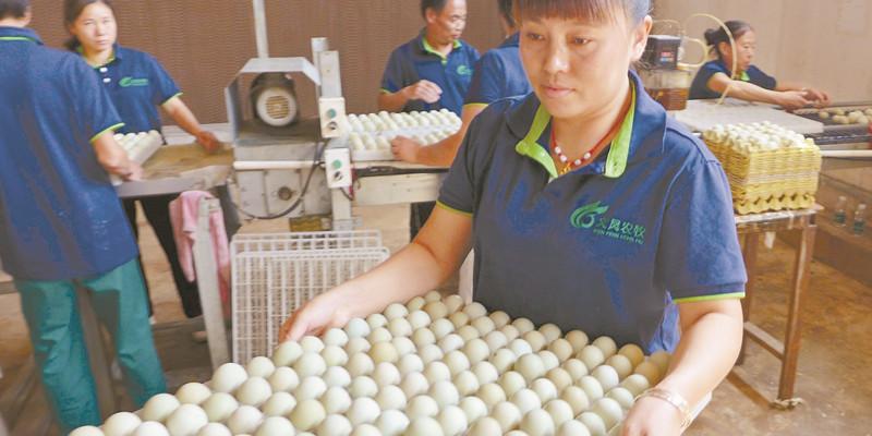 青壳蛋鸡助增收