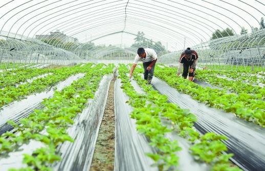 生态草莓促增收