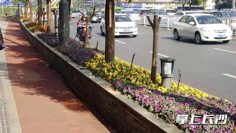 芙蓉区车站路沿线新增不少地被花卉。芙蓉区园林绿化维护中心供图