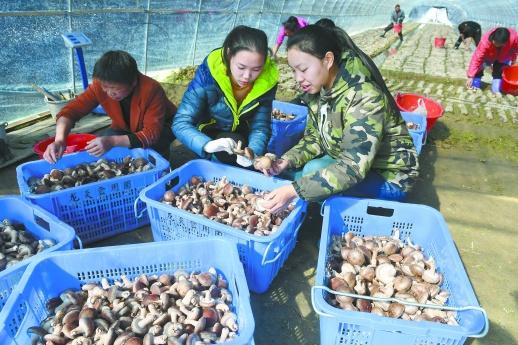 产业带动 村民增收