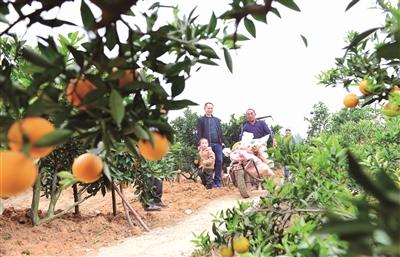 人种一亩橙 助我来脱贫