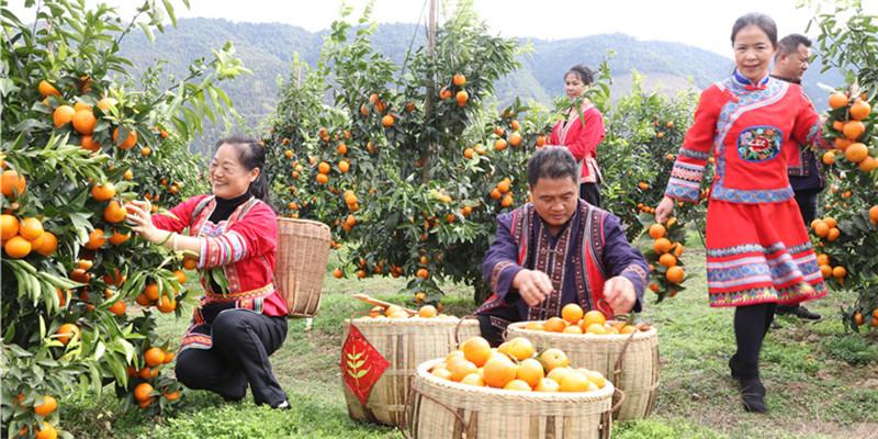 【决胜2020——扶贫印记】水果丰收 果农开怀