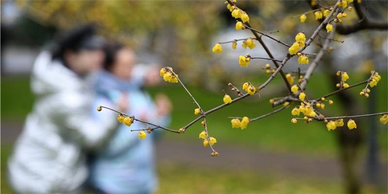 腊梅朵朵迎新春