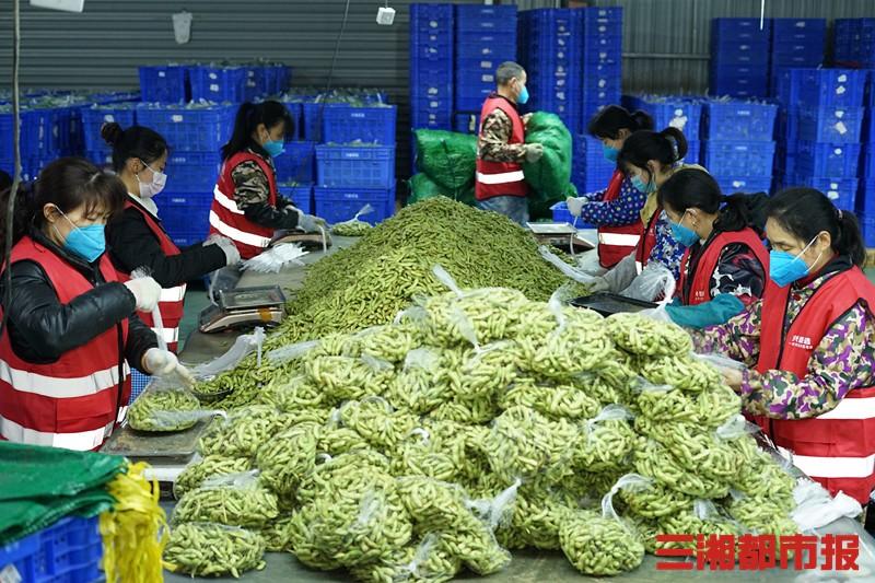 20万斤毛豆遇上疫情滞销,种植户来长求助