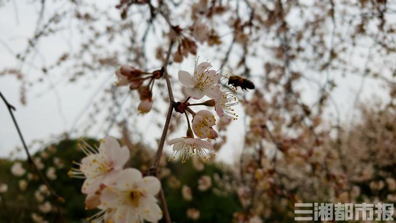 长沙园林生态园开园,红梅樱花早杜鹃开得正好