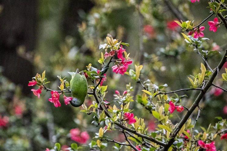 海棠如雨啼花鸟 新湖南www.hunanabc.com