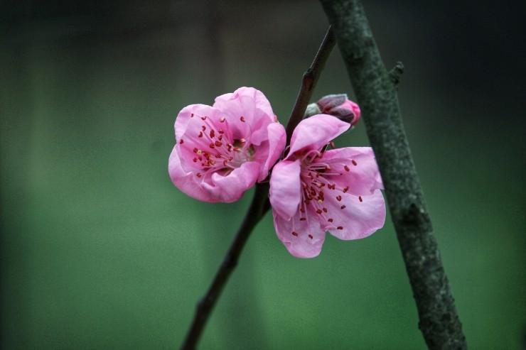 桃花朵朵开西湖 新湖南www.hunanabc.com