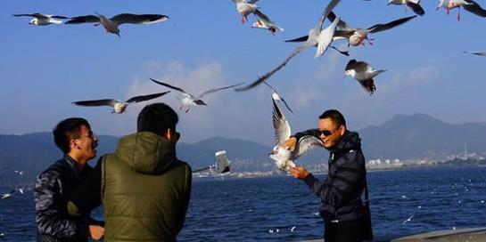 """游客在昆明""""虐鸥"""" 抓住海鸥自拍留影"""