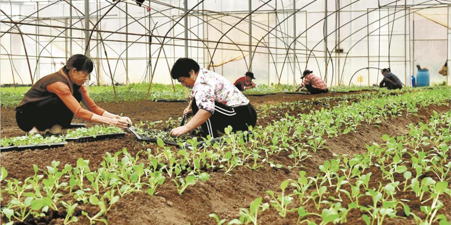 有机蔬菜促增收