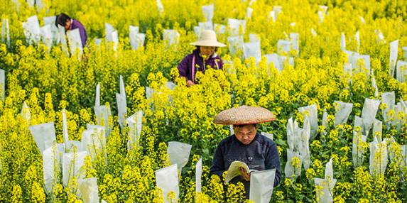 一圖看湖南丨《油菜地里的追夢人》:一個農民科學家的堅持