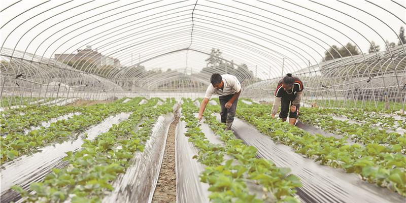 生態草莓促增收