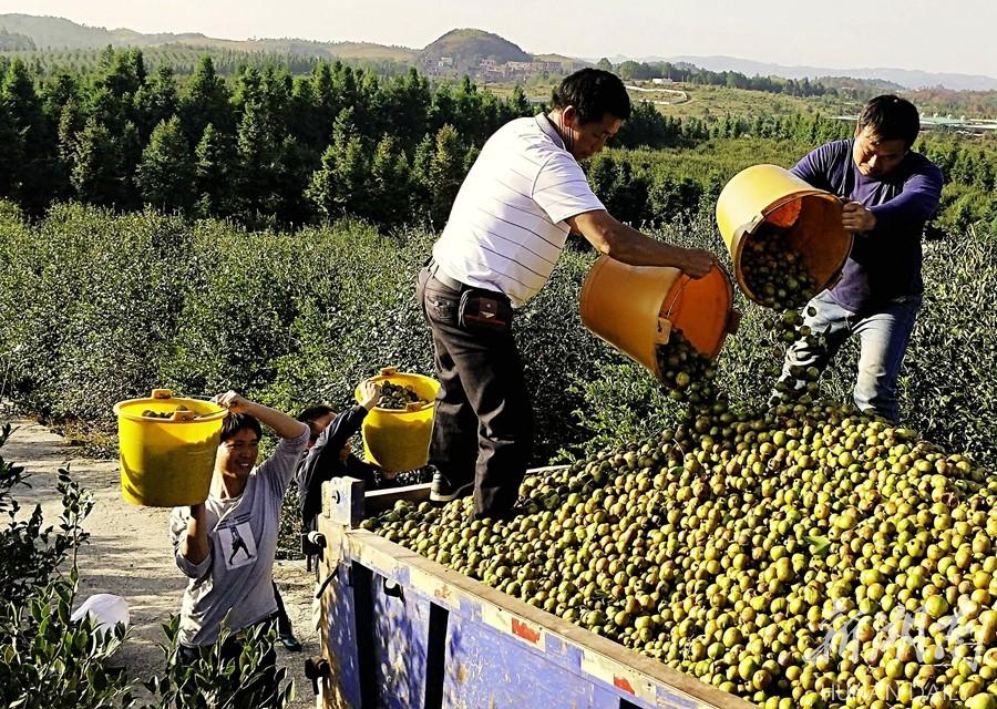 茶油产业助脱贫 新湖南www.hunanabc.com