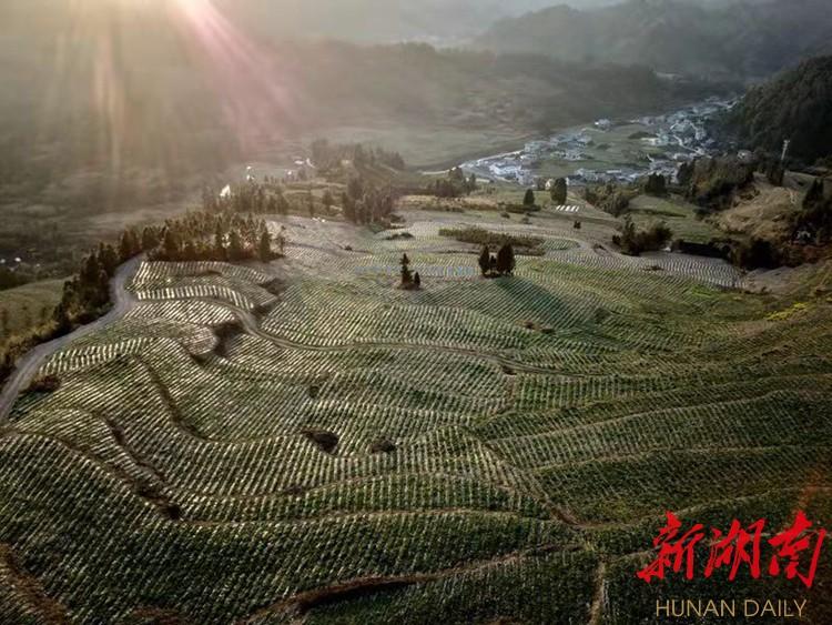 阳光照耀下的龙山县内溪乡五官村药材基地