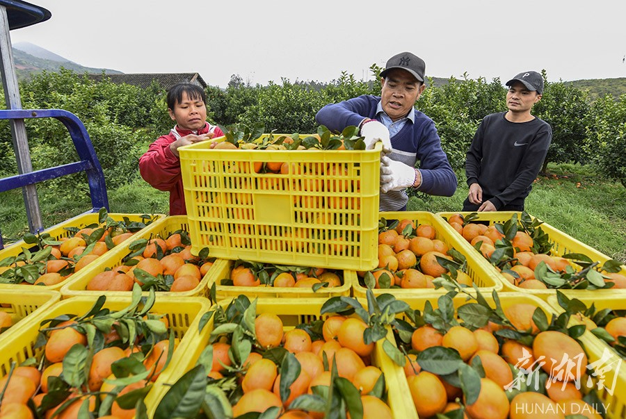 """扶贫印记:""""婆家""""到,柑橘俏 新湖南www.hunanabc.com"""